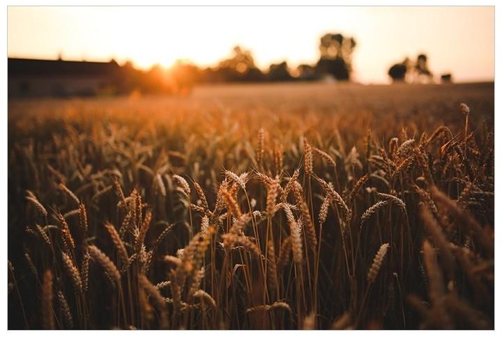 Influencia de la aplicación de bioestimulantes en el trigo duro en VIDA RURAL